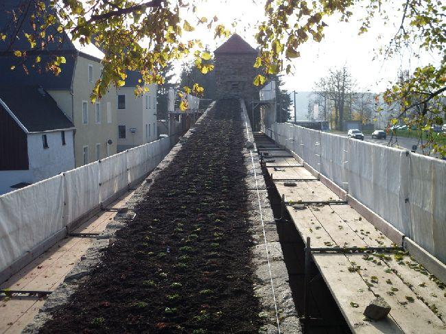 Begrünung Stadtmauer Marienberg
